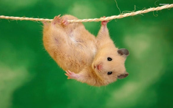 funny hamster wallpaper background for phone download