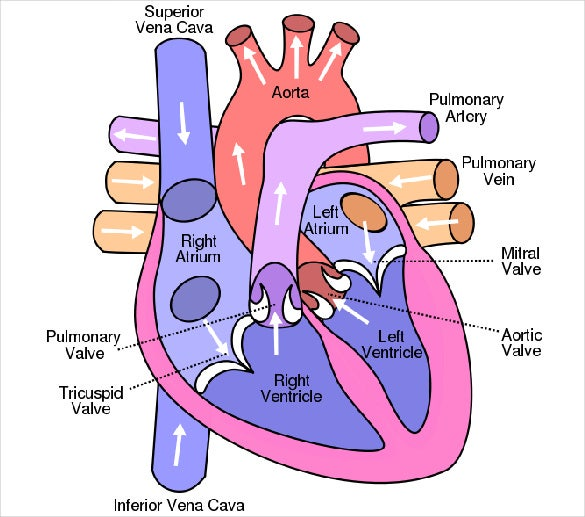 graphic about Printable Heart Diagram named Center Diagram 15+ Absolutely free Printable Phrase, Excel, EPS, PSD
