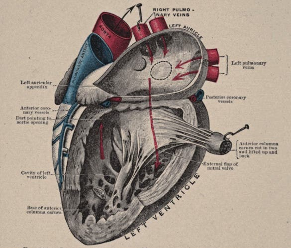 vintage anatomical heart diagram