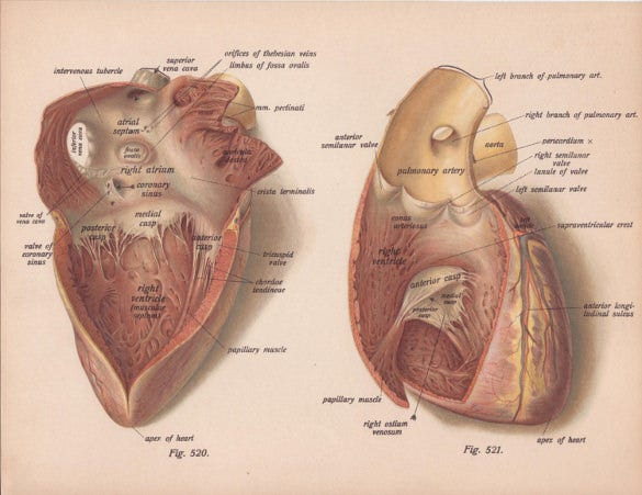 early 1911 exposed human heart