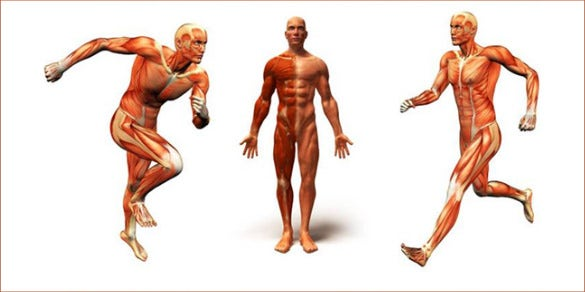 human body anatomy template