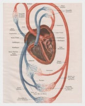 1910 Human Heart Anatomy Print
