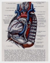 Vintage Medical Page Human Heart