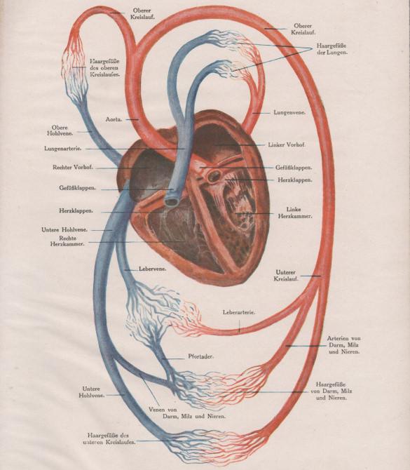 18  heart diagram templates  u2013 sample  example  format download