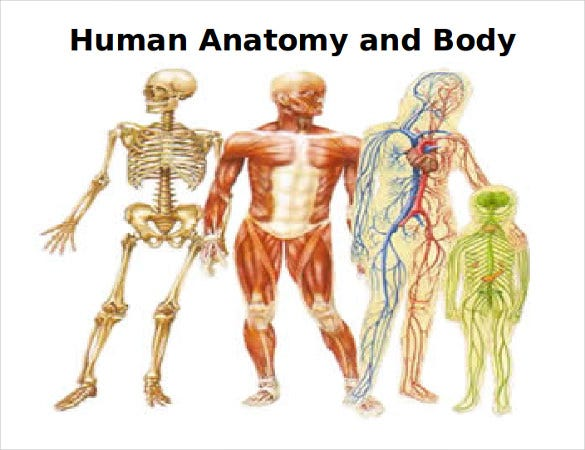 human anatomy and body systems sample template