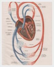 1910-Human-Heart-Anatomy-Print