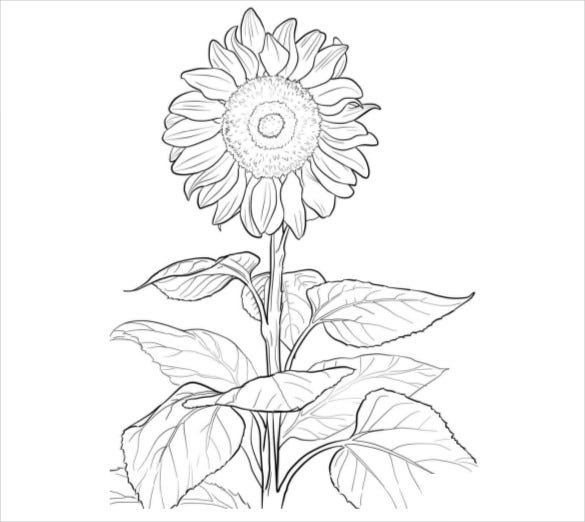sunflower coloring page pdf free download