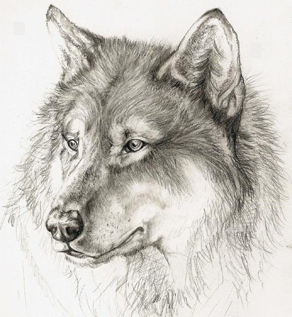 vintage wolf drawing template for download