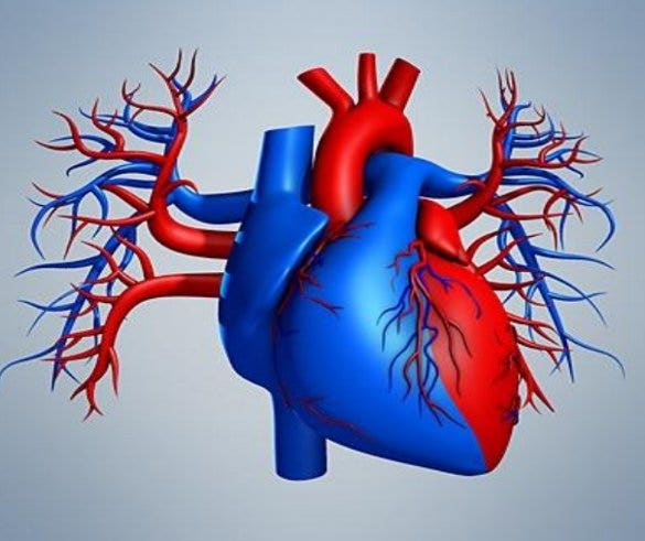 19 heart diagram templates sample example format download cdhbhealth this colored heart diagram is a graphic representation of the organ which can be used for presentations and videos about the subject of human ccuart Choice Image