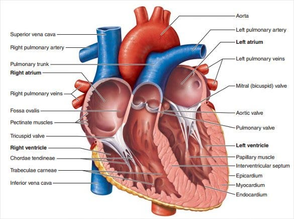 19 heart diagram templates sample example format download inner part of the heart sample diagram ccuart Gallery