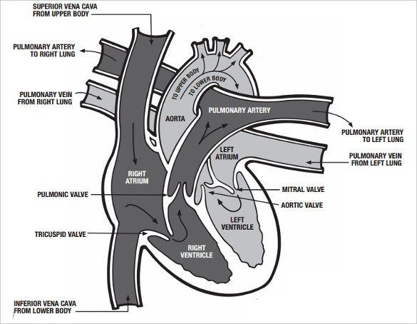 19+ heart diagram templates – sample, example, format download, Muscles