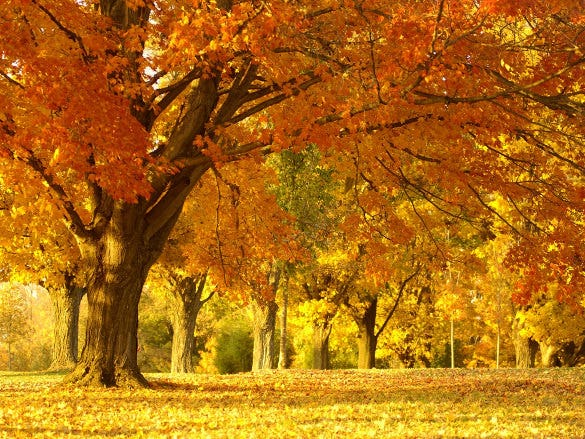 golden autumn tree nature wallpaper