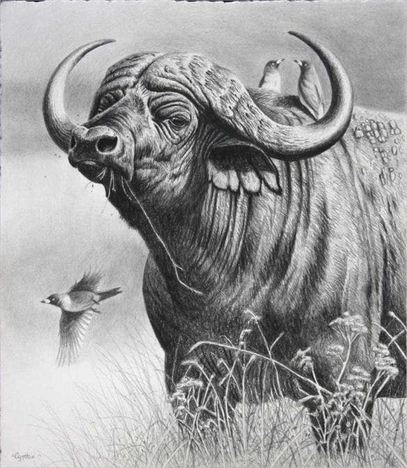 wild buffalo drawing