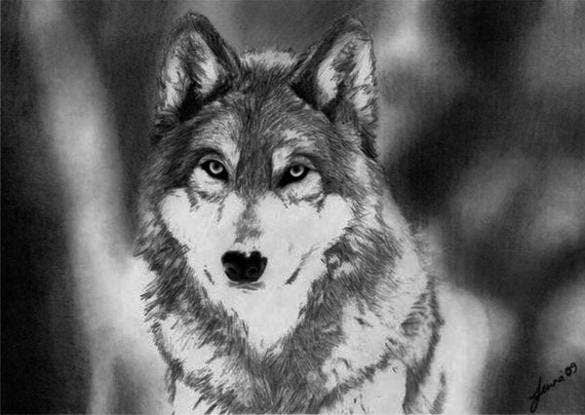 drawing of a wolf download