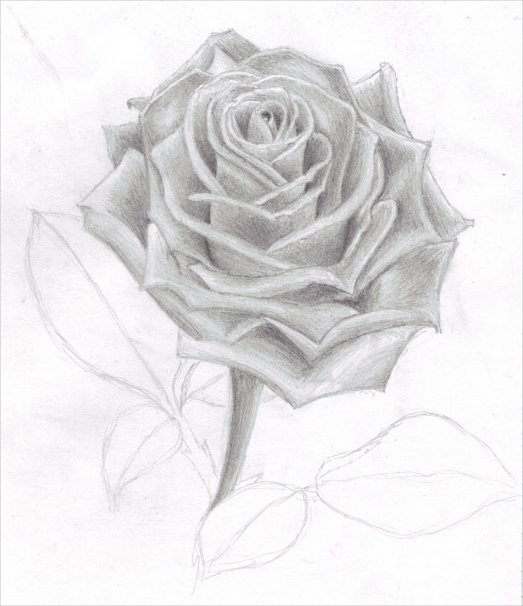 Awesome Pencil Drawing Of Rose