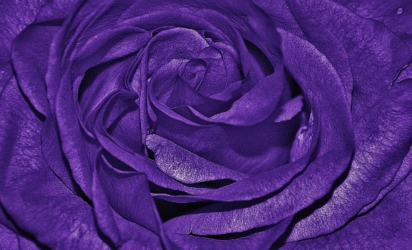 rose with purple background download
