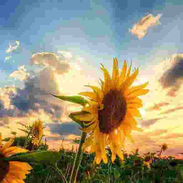 sunflowers background11