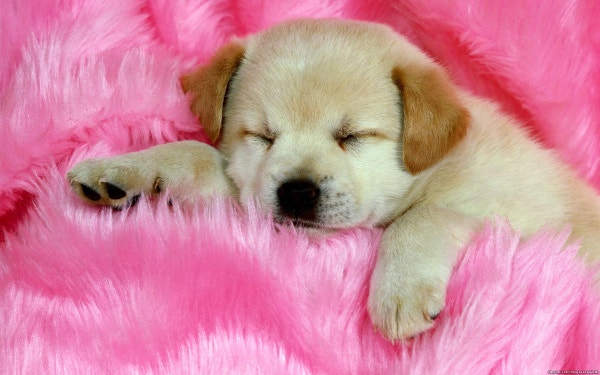 cute puppy sleeping on a pink rug