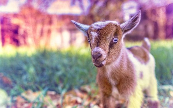 download cute goat baby wallpaper