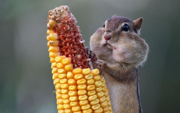 Chipmunk Eating Corn Cute Background Download