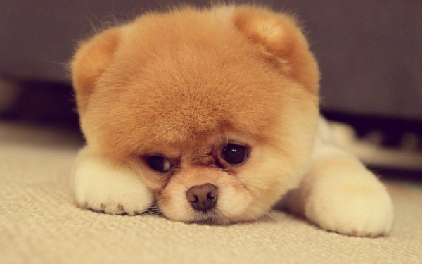 cute pomeranian puppy on the floor