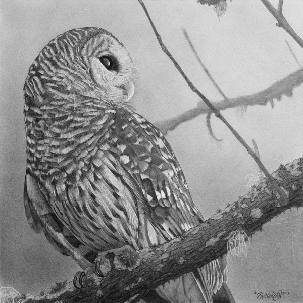 Barred Owl Drawing Fine Art Design