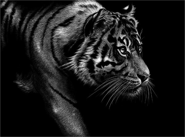 Wildlife Tiger Drawing