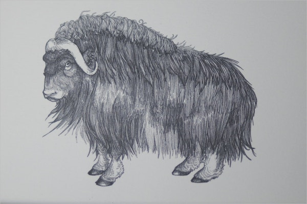 Musk Ox Pen Drawing