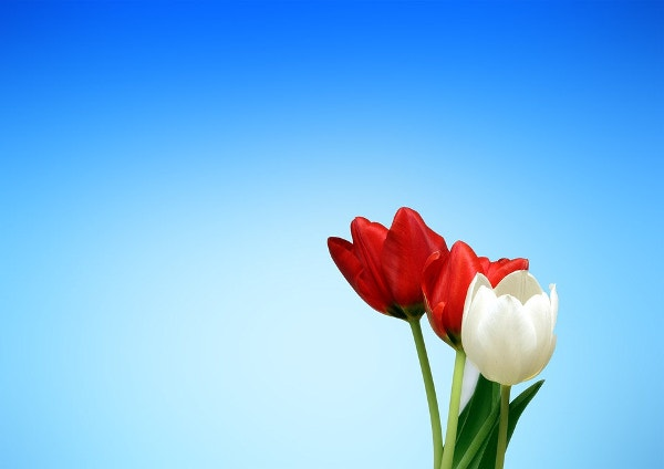 White & Red Tulip Flowers Tumblr Background