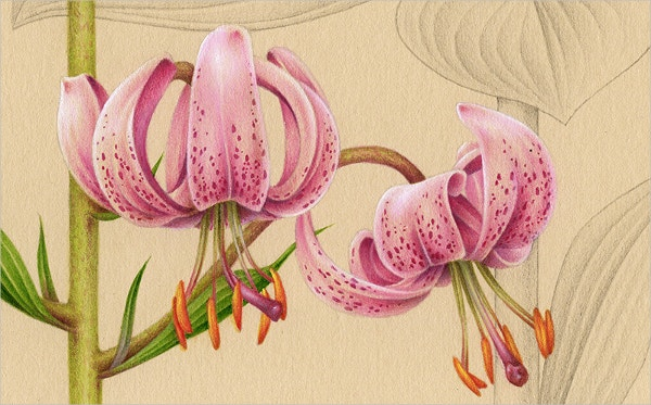 Botanical Lily Flower Drawing