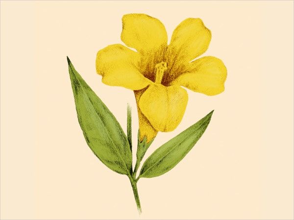 Yellow Jasmine Flower Drawing