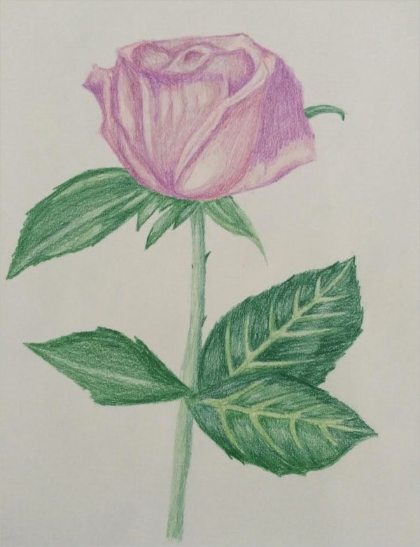 Color Pencil Rose Drawing