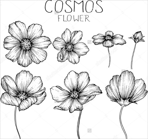 cosmos-flower-drawing