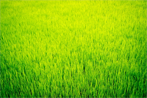 rice meadow grass texture design