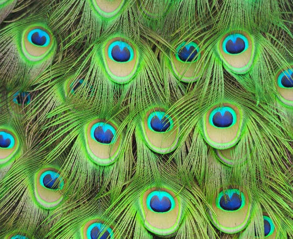 Green Peacock Feather Pattern