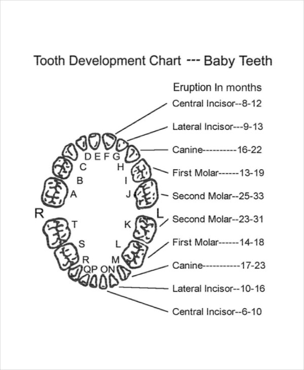 7 Baby Teeth Growth Chart Templates Free Sample Example – Baby Teeth Chart