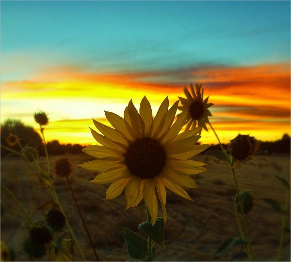 Contrast Photography of Sun Flower