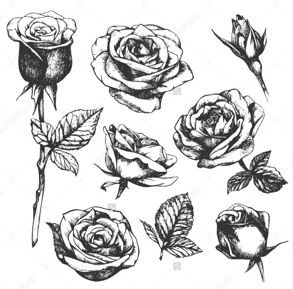Beautiful Hand Drawn Rose