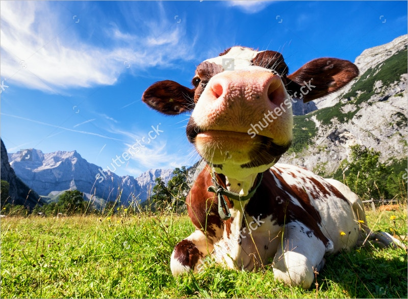 Funny Cow Photography