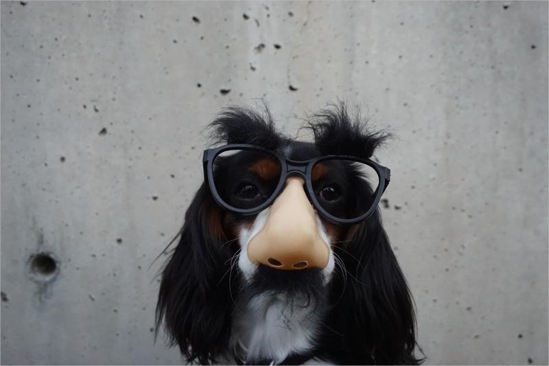 Coated Dog Wearing Black Sunglasses
