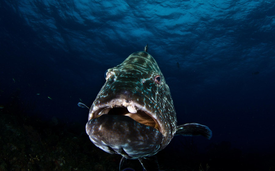 giant-fish-underwater-photography