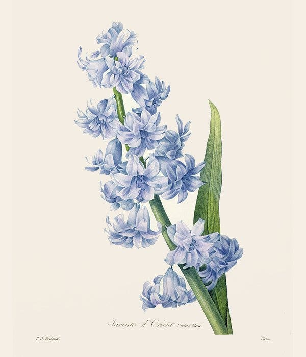 hyacinth-flower-drawing