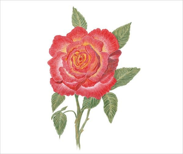 rose flower drawing1