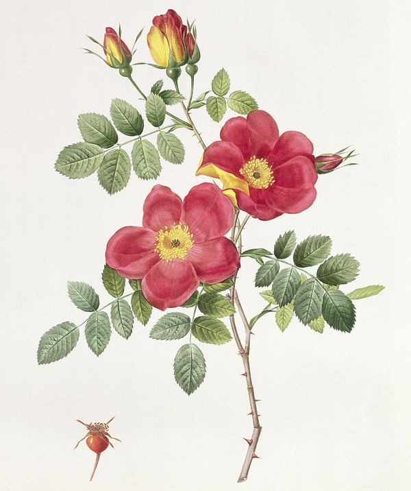 Rosa Eglantera Punicea Flower Drawing
