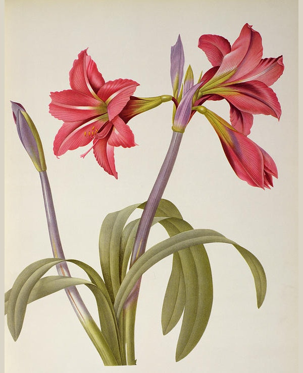 Amaryllis Brasiliensis Flower Drawing