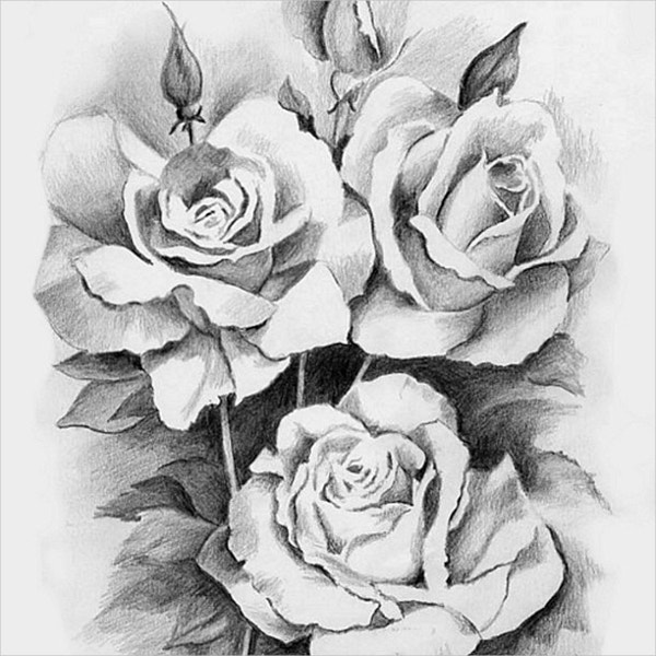 beautiful roses drawing