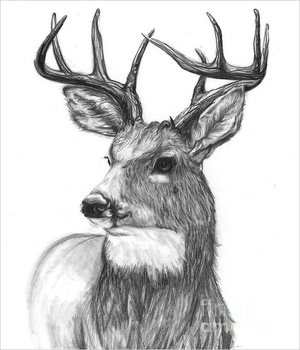 deer-drawing