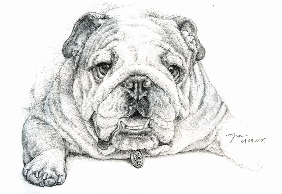 drawing-of-the-bulldog