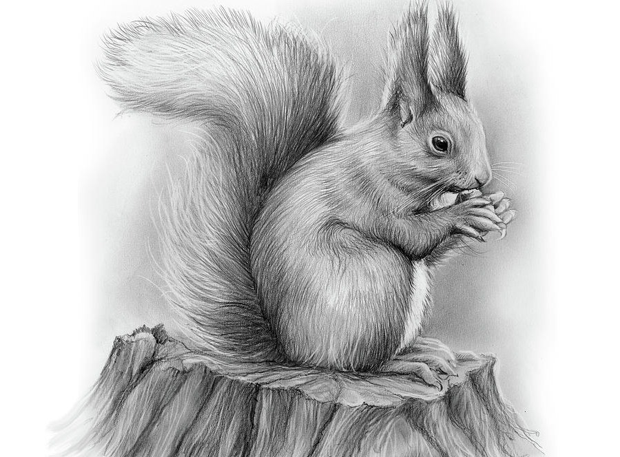 pencil-sketch-of-a-squirrel