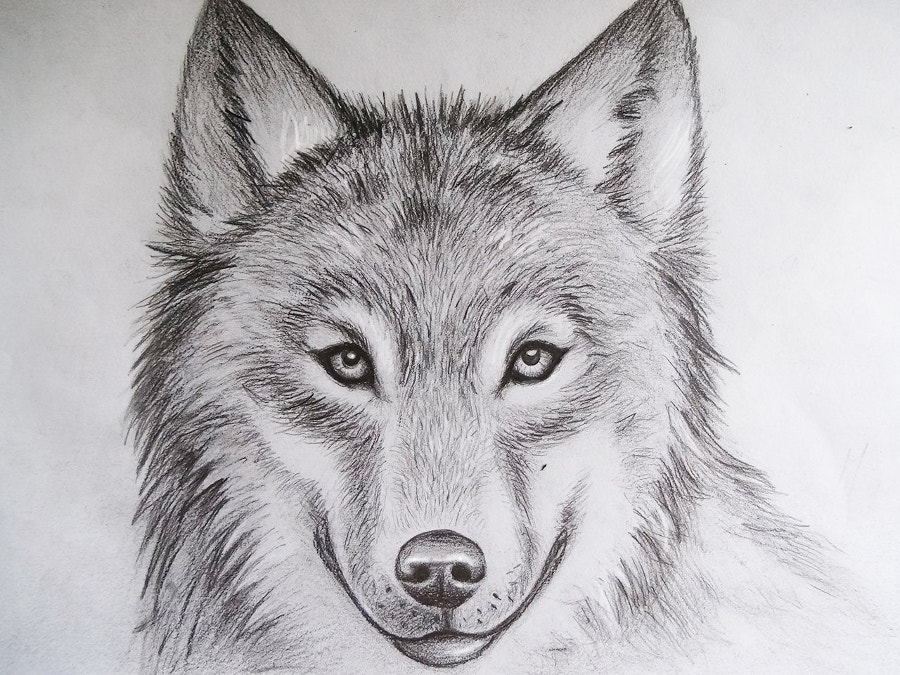 Wolf Drawing by iMikeOakheart